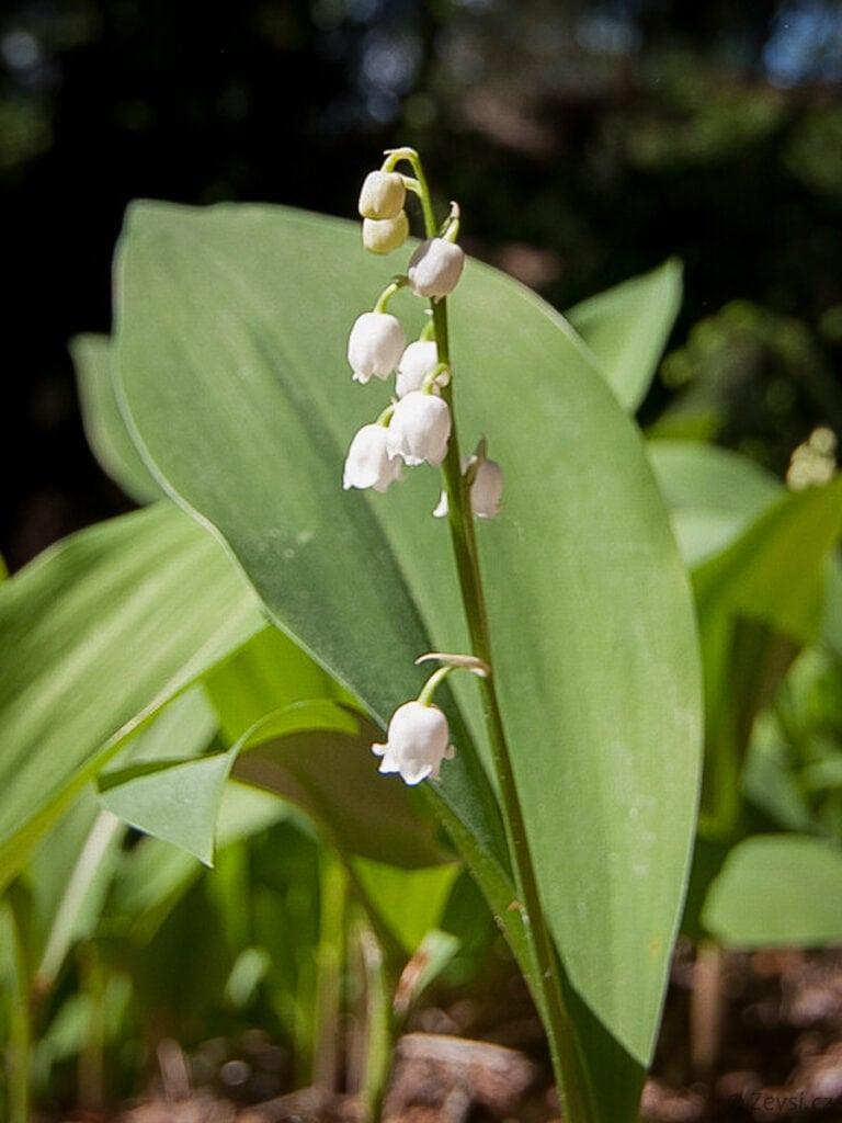 Konvalinka vonná má typické květy.
